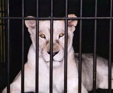 Ask the lions: what do you feel about being held in cages